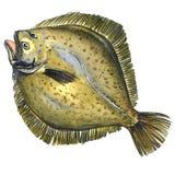 Intero pesce crudo fresco della passera di mare, pesce piatto, dimenamento, isolato, illustrazione dell'acquerello Immagine Stock Libera da Diritti
