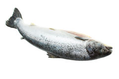 Intero salmone isolato su bianco Fotografia Stock Libera da Diritti