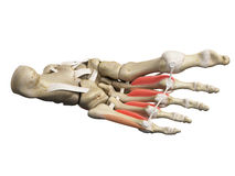 The interosseous plantar Royalty Free Stock Photography