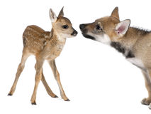 Interplay between roe deer Fawn and Eurasian Wolf. Interplay between roe deer Fawn (15 days old) and Eurasian Wolf (40 days old) in front of a white background Royalty Free Stock Photo