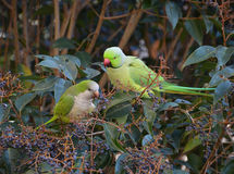 Interracial couple of exotic parrots Stock Images
