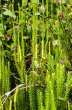 Stiff clubmoss Royalty Free Stock Images