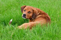 Interrupted nap, the stray dog looks cautiously royalty free stock images