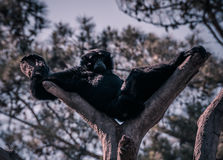 Interrupted Sunday Nap. Gorilla sprawled out for a nap enjoying the sunshine, get interrupted by passers-by Stock Image