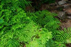 Interruttore dei involvens del Selaginella Sorgente Selaginellaceae Fondo della pianta fotografie stock