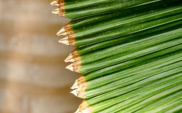 Intersecting edges of palm leaf royalty free stock photo