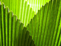Intersecting Edges of the Umbrella Leaf Fronds Stock Image