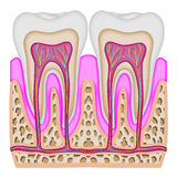 The intersection of the tooth Royalty Free Stock Images