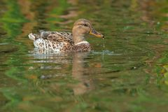 Mallard. Intersex female mallard swimming in the open water with water dribbling from her nose Stock Photo
