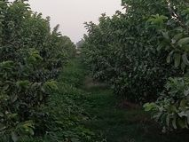 HIGH-DENSITY GUAVA PLANTATION &Intercropping. The interspace can be economically utilised by growing suitable intercrops in the early stages till the bearing. A stock photo