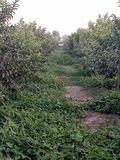 HIGH-DENSITY GUAVA PLANTATION &Intercropping. The interspace can be economically utilised by growing suitable intercrops in the early stages till the bearing. A stock photos
