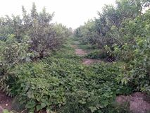 HIGH-DENSITY GUAVA PLANTATION &Intercropping. The interspace can be economically utilised by growing suitable intercrops in the early stages till the bearing. A royalty free stock images
