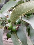 HIGH-DENSITY GUAVA PLANTATION &Intercropping royalty free stock photography