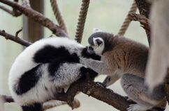 Interspecies lemur friends Stock Photo