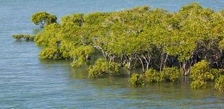intertidal mangroves Arkivbild