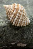 Intertidal Ocean Snail Shell on Rock Royalty Free Stock Photo