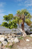 Intertwined. A palm and mangrove are intertwined on a beach in Charlotte Harbor Florida royalty free stock photography