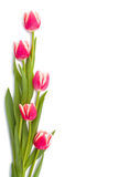 Intertwined red spring tulips frame with place for text isolated on white background Stock Photo