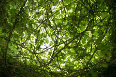 The intertwining branches. The intertwining of the branches of the wild grape Stock Photo