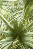 Intertwining leaf tips of palmetto leaves in south Florida. Stock Photography