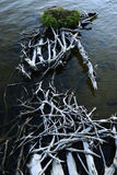 Intertwining roots of the dead Royalty Free Stock Image