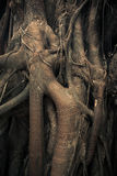 Intertwining trunks and roots of trees Royalty Free Stock Photography