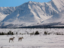 intervalle grand arctique de passage de caribou de l'Alaska Photographie stock libre de droits