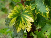Interveinal chlorosis caused by iron or nitrogen deficiency on a grape vine with grapes. Agriculture, viticulture