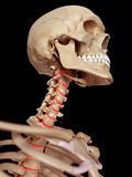 The intervertebral discs Stock Image