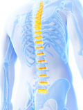 Intervertebral disks Stock Images