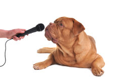Interview with a dog Royalty Free Stock Image