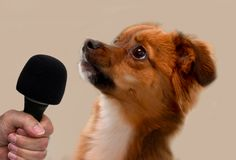 Interview with a little puppy dog. Little crossbreed puppy dog cranes his neck to give an interview royalty free stock images