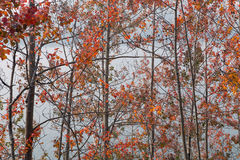 Interweaving branches aspens with red leaves. Royalty Free Stock Photos