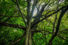 The interweaving of old trees Royalty Free Stock Image
