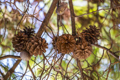 Interweaving of pine branches with cones on a background of sky Royalty Free Stock Images