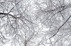 Interweaving tree branches Royalty Free Stock Photo