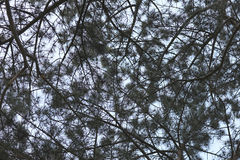 Interwoven branches of a coniferous tree. Against the sky Stock Photography