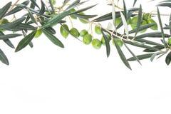 Intestazione verde oliva di branchesfor, appendente giù da sopra Olive verdi con i fogli Copi lo spazio Fotografia Stock Libera da Diritti