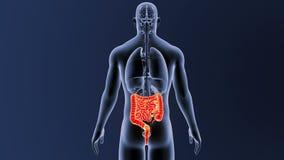 Intestin avec des organes illustration de vecteur
