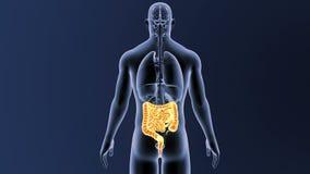 Intestin avec des organes illustration stock