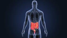 Intestin avec l'anatomie illustration stock