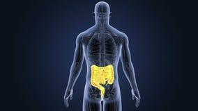 Intestin avec l'anatomie illustration libre de droits