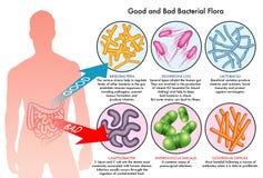 Intestinal bacterial flora vector illustration