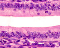 Intestinal epithelium. Brush border. Simple columnar epithelium of the small intestine. The apical surface shows a well developed brush border. In the center Royalty Free Stock Photo