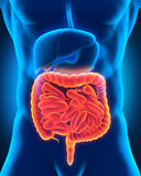 Intestinal Internal Organs Royalty Free Stock Photo
