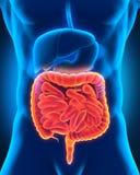 Intestinal Internal Organs. 3D render Royalty Free Stock Photo