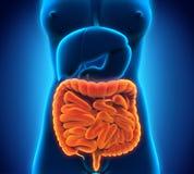 Intestinal Internal Organs. Illustration of Intestinal Internal Organs. 3D render Royalty Free Stock Photos