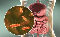 Intestinal microbiome, Escherichia coli. Intestinal microbiome, 3D illustration showing anatomy of human digestive system and enteric bacteria Escherichia coli Stock Images