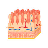 Intestinal wall anatomy Stock Photo