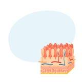 Intestinal wall anatomy Stock Images